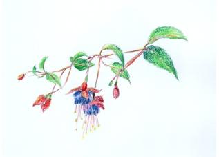 Beltsjebom (Fuchsia)
